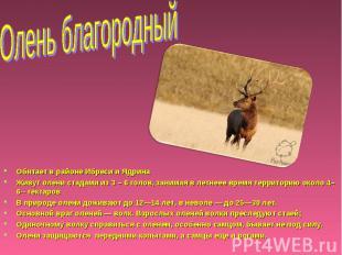 Олень благородный Обитает в районе Ибреси и Ядрина Живут олени стадами из 3 – 6