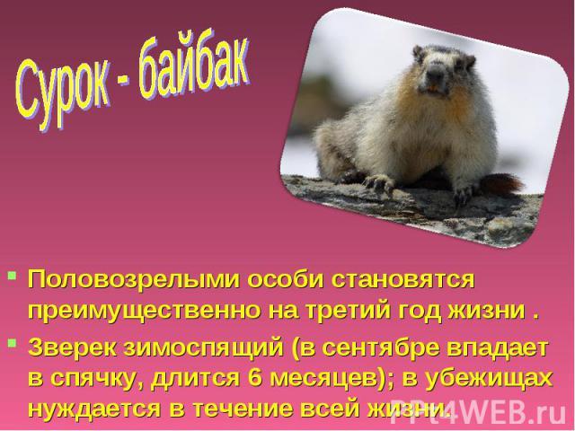 Сурок - байбак Половозрелыми особи становятся преимущественно на третий год жизни . Зверек зимоспящий (в сентябре впадает в спячку, длится 6 месяцев); в убежищах нуждается в течение всей жизни.
