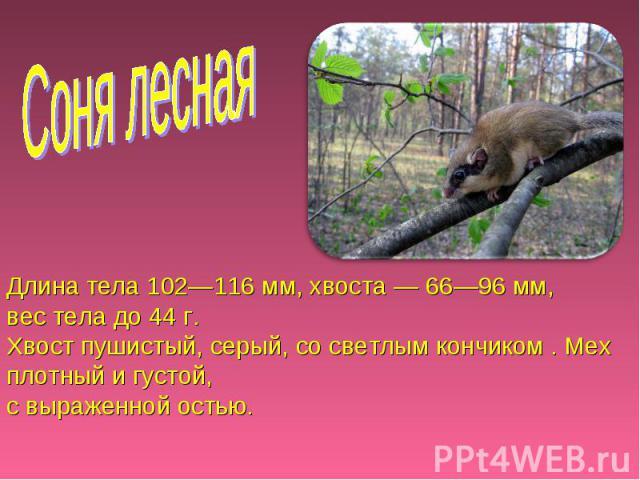 Соня лесная Длина тела 102—116 мм, хвоста — 66—96 мм, вес тела до 44 г. Хвост пушистый, серый, со светлым кончиком . Мех плотный и густой, с выраженной остью.