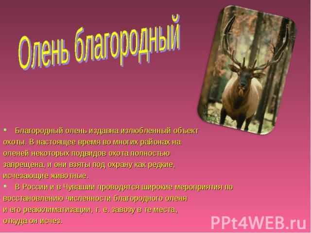 Олень благородный Благородный олень издавна излюбленный объект охоты. В настоящее время во многих районах на оленей некоторых подвидов охота полностью запрещена, и они взяты под охрану как редкие, исчезающие животные. В России и в Чувашии проводятся…