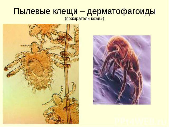 Пылевые клещи – дерматофагоиды (пожиратели кожи»)
