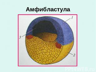 Амфибластула