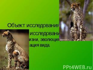Объект исследования – гепард. Предмет исследования – условия жизни, эволюция, кл