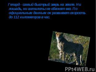 Гепард - самый быстрый зверь на земле. Ни лошадь, ни антилопы не обгонят его. По