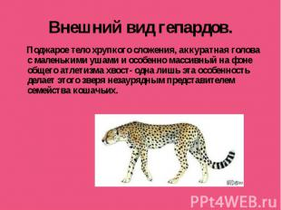 Внешний вид гепардов. Поджарое тело хрупкого сложения, аккуратная голова с мален