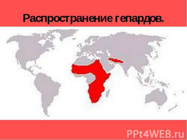 Распространение гепардов. Гепарды обитают в Африке, а также в Индии, Передней и Средней Азии. В настоящее время азиатский гепард практически исчез. Его редко можно встретить в Армении и Азербайджане. В Туркмении их в последний раз видели в 1960-е гг…
