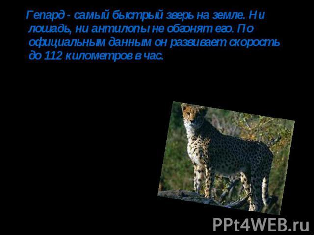 Гепард - самый быстрый зверь на земле. Ни лошадь, ни антилопы не обгонят его. По официальным данным он развивает скорость до 112 километров в час.