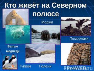 Кто живёт на Северном полюсе Моржи Белые медведи Поморники Тупики Тюлени Птичий