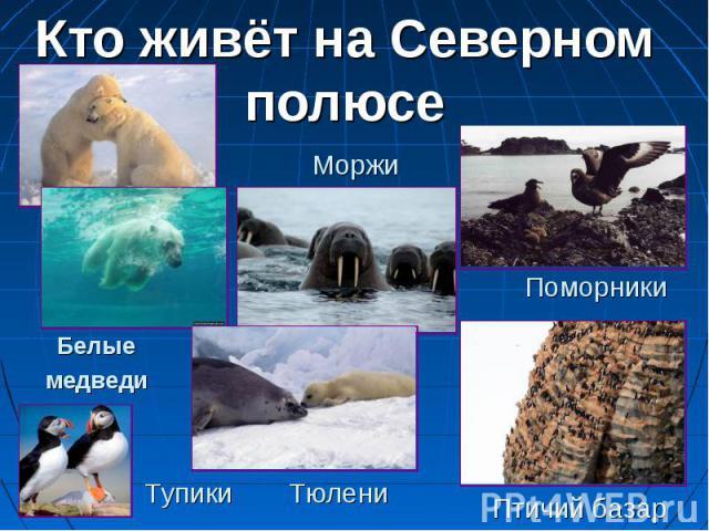 Кто живёт на Северном полюсе Моржи Белые медведи Поморники Тупики Тюлени Птичий базар