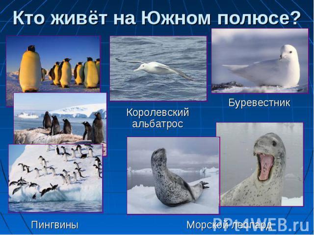 Кто живёт на Южном полюсе? Королевский альбатрос Буревестник Пингвины Морской леопард