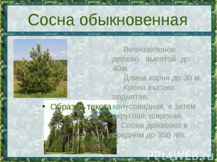 Сосна обыкновенная Вечнозеленое дерево высотой до 40м. Длинакорня до 30 м. Кро