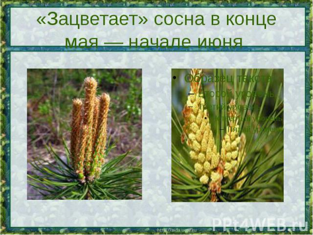 «Зацветает» сосна в конце мая — начале июня