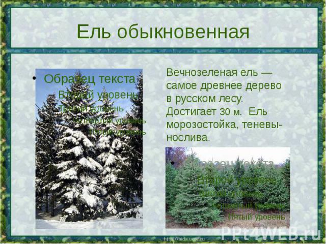 Ель обыкновенная Вечнозеленая ель — самое древнее дерево в русском лесу. Достигает 30 м. Ель морозостойка, теневы-нослива.