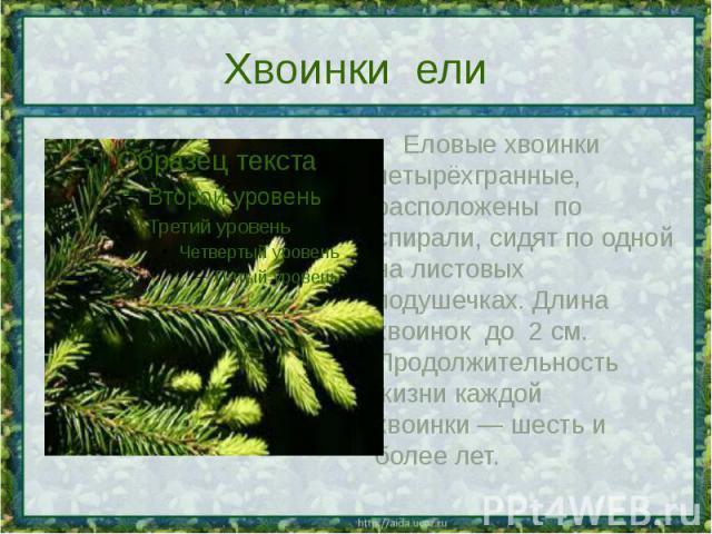 Хвоинки ели Еловые хвоинки четырёхгранные, расположены по спирали, сидят по одной на листовых подушечках. Длина хвоинок до 2см. Продолжительность жизни каждой хвоинки— шесть и более лет.
