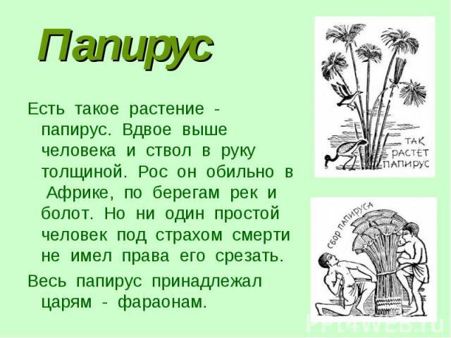 ПапирусЕсть такое растение - папирус. Вдвое выше человека и ствол в руку толщиной. Рос он обильно в Африке, по берегам рек и болот. Но ни один простой человек под страхом смерти не имел права его срезать. Весь папирус принадлежал царям - фараонам.