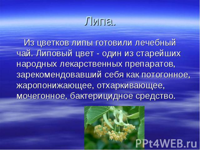 Липа. Из цветков липы готовили лечебный чай. Липовый цвет - один из старейших народных лекарственных препаратов, зарекомендовавший себя как потогонное, жаропонижающее, отхаркивающее, мочегонное, бактерицидное средство.