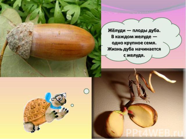 Жёлуди — плоды дуба. Вкаждом желуде— одно крупное семя. Жизнь дуба начинается сжелудя.