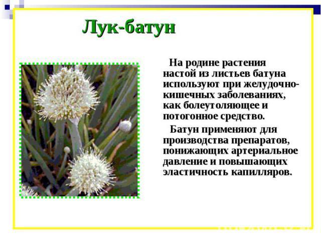 Лук-батун На родине растения настой из листьев батуна используют при желудочно-кишечных заболеваниях, как болеутоляющее и потогонное средство. Батун применяют для производства препаратов, понижающих артериальное давление и повышающих эластичность ка…