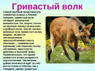 Гривастый волк Самый крупный представитель семейства псовых в Южной Америке, гри