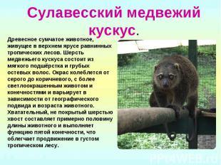Сулавесский медвежий кускус.Древесное сумчатое животное, живущее в верхнем ярусе