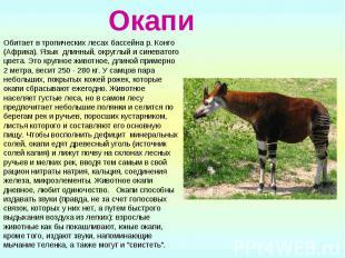 Окапи Обитает в тропических лесах бассейна р. Конго (Африка). Язык длинный, окру