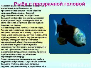 Рыба с прозрачной головой На самом деле она называется малоротая макропинна, или