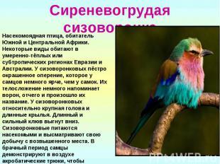 Сиреневогрудая сизоворонкаНасекомоядная птица, обитатель Южной и Центральной Афр