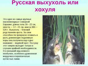 Русская выхухоль или хохуля Это одно из самых крупных насекомоядных Северной Евр