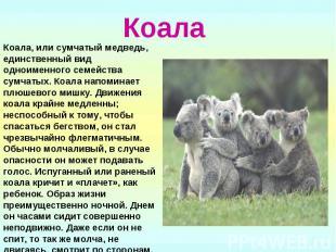 Коала Коала, или сумчатый медведь, единственный вид одноименного семейства сумча
