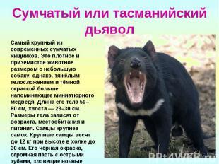 Сумчатый или тасманийский дьявол Самый крупный из современных сумчатых хищников.