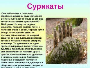 Сурикаты Они небольшие и довольно стройные, длина их тела составляет до 35 см пл