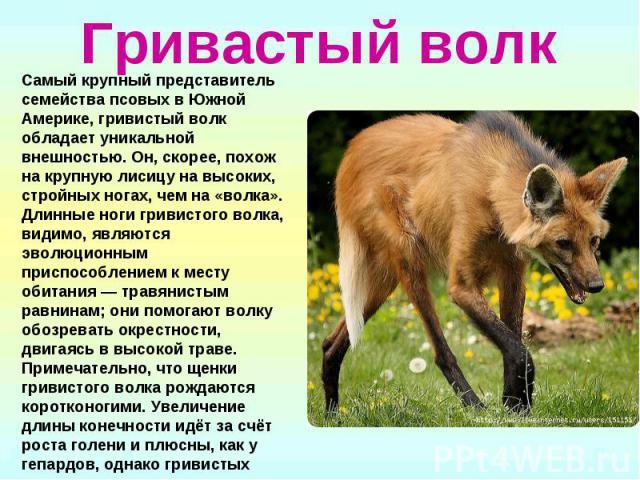 Гривастый волк Самый крупный представитель семейства псовых в Южной Америке, гривистый волк обладает уникальной внешностью. Он, скорее, похож на крупную лисицу на высоких, стройных ногах, чем на «волка». Длинные ноги гривистого волка, видимо, являют…
