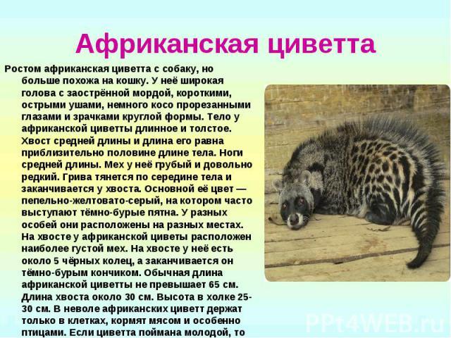 Африканская циветта Ростом африканская циветта с собаку, но больше похожа на кошку. У неё широкая голова с заострённой мордой, короткими, острыми ушами, немного косо прорезанными глазами и зрачками круглой формы. Тело у африканской циветты длинное и…