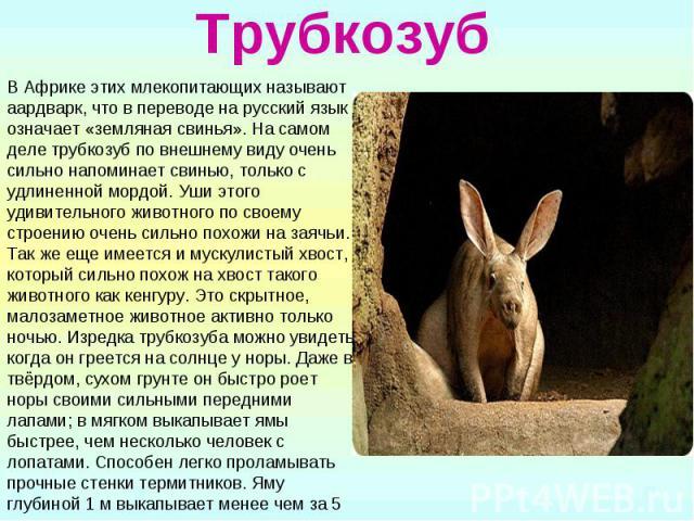 Трубкозуб В Африке этих млекопитающих называют аардварк, что в переводе на русский язык означает «земляная свинья». На самом деле трубкозуб по внешнему виду очень сильно напоминает свинью, только с удлиненной мордой. Уши этого удивительного животног…