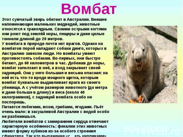 Вомбат Этот сумчатый зверь обитает в Австралии. Внешне напоминающие маленьких медведей, животные относятся к травоядным. Своими острыми когтями они роют под землёй норы, пещеры и даже целые тоннели длиной до 20 метров. У вомбата в природе почти нет …