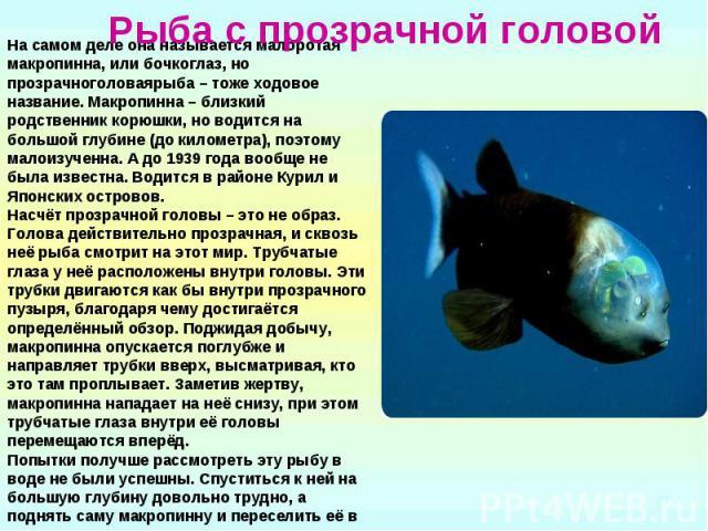 Рыба с прозрачной головой На самом деле она называется малоротая макропинна, или бочкоглаз, но прозрачноголоваярыба – тоже ходовое название. Макропинна – близкий родственник корюшки, но водится на большой глубине (до километра), поэтому малоизученна…