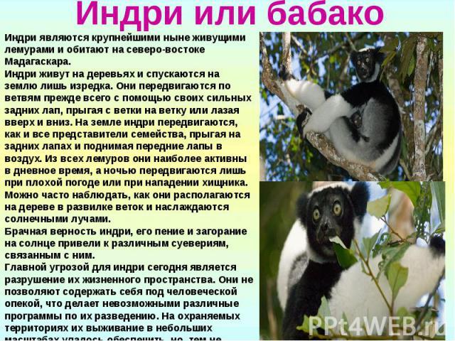 Индри или бабакоИндри являются крупнейшими ныне живущими лемурами и обитают на северо-востоке Мадагаскара. Индри живут на деревьях и спускаются на землю лишь изредка. Они передвигаются по ветвям прежде всего с помощью своих сильных задних лап, прыга…