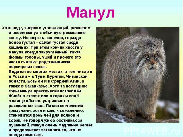 Манул Хотя вид у зверюги угрожающий, размером и весом манул с обычную домашнюю кошку. Но шерсть, конечно, гораздо более густая – самая густая среди кошачьих. При этом кончик хвоста у манула всегда закруглённый. Из-за формы головы, ушей и прочего его…