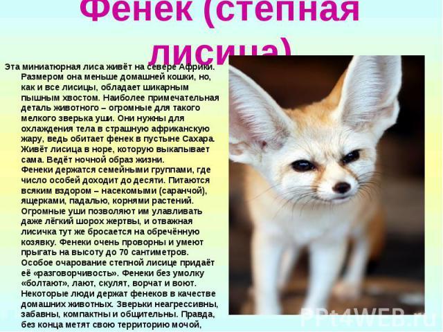 Фенек (степная лисица) Эта миниатюрная лиса живёт на севере Африки. Размером она меньше домашней кошки, но, как и все лисицы, обладает шикарным пышным хвостом. Наиболее примечательная деталь животного – огромные для такого мелкого зверька уши. Они н…