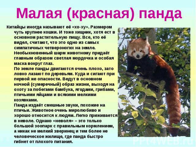 Малая (красная) панда Китайцы иногда называют её «хо-ху». Размером чуть крупнее кошки. И тоже хищник, хотя ест в основном растительную пищу. Все, кто её видел, считают, что это одно из самых симпатичных четвероногих на земле. Необыкновенный шарм жив…