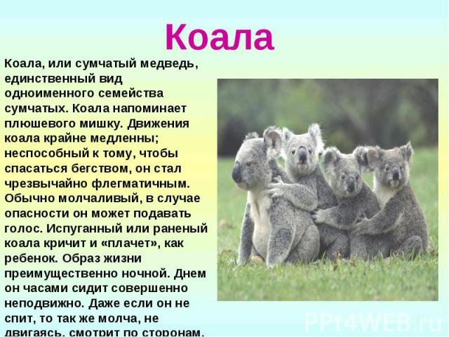 Коала Коала, или сумчатый медведь, единственный вид одноименного семейства сумчатых. Коала напоминает плюшевого мишку. Движения коала крайне медленны; неспособный к тому, чтобы спасаться бегством, он стал чрезвычайно флегматичным. Обычно молчаливый,…