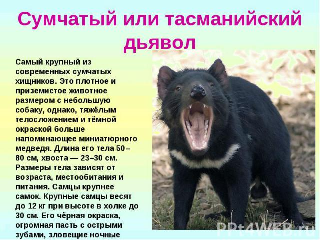 Сумчатый или тасманийский дьявол Самый крупный из современных сумчатых хищников. Это плотное и приземистое животное размером с небольшую собаку, однако, тяжёлым телосложением и тёмной окраской больше напоминающее миниатюрного медведя. Длина его тела…