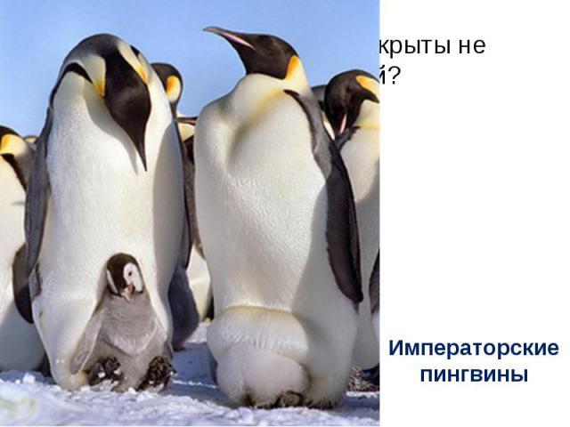 Птицы, перья которых покрыты не перьями, а чешуёй? Императорские пингвины