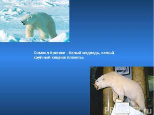 Символ Арктики - белый медведь, самый крупный хищник планеты.