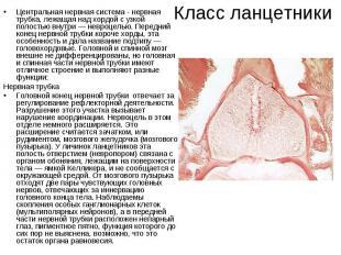 Класс ланцетникиЦентральная нервная система - нервная трубка, лежащая над хордой
