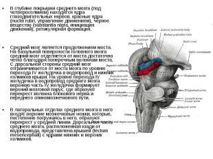 В глубине покрышки среднего мозга (под четверохолмием) находятся ядра глазодвига