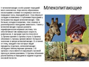 Млекопитающие У млекопитающих особо развит передний мозг и мозжечок. Кора мозга
