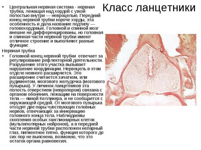 Класс ланцетникиЦентральная нервная система - нервная трубка, лежащая над хордой с узкой полостью внутри — невроцелью. Передний конец нервной трубки короче хорды, эта особенность и дала название подтипу — головохордовые. Головной и спинной мозг внеш…