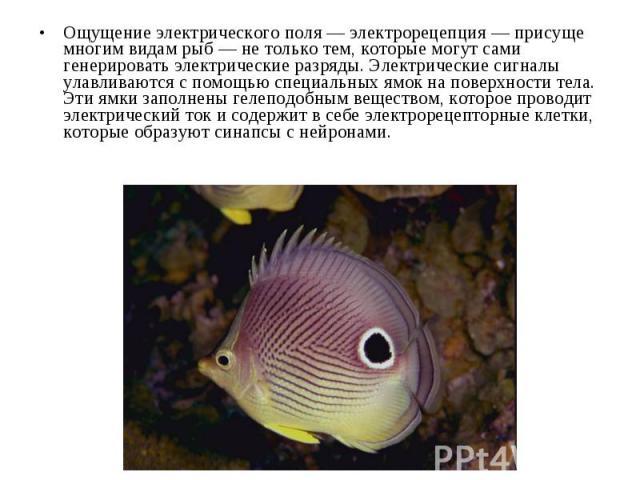 Ощущение электрического поля — электрорецепция — присуще многим видам рыб — не только тем, которые могут сами генерировать электрические разряды. Электрические сигналы улавливаются с помощью специальных ямок на поверхности тела. Эти ямки заполнены г…