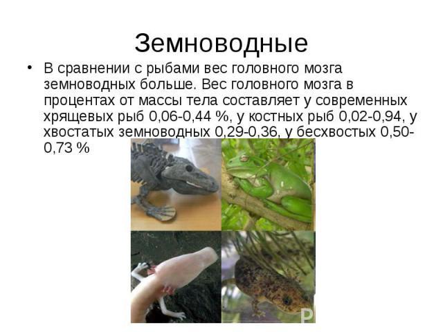 Земноводные В сравнении с рыбами вес головного мозга земноводных больше. Вес головного мозга в процентах от массы тела составляет у современных хрящевых рыб 0,06-0,44 %, у костных рыб 0,02-0,94, у хвостатых земноводных 0,29-0,36, у бесхвостых 0,50-0,73 %